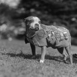 Picture of Sgt. Stubby a highly decorated military dog