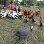 Chickens, turkeys and ducks gather towards a green bowl designed to keep them closer and safer